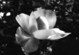 rose rapture