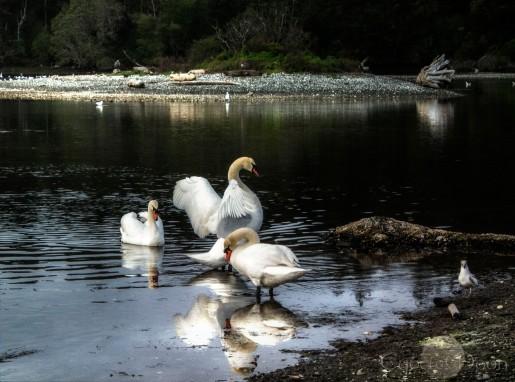 Bonny Swans