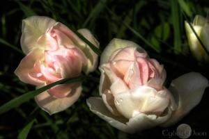 evening sunlight on satin, (tulips under the old oak tree)