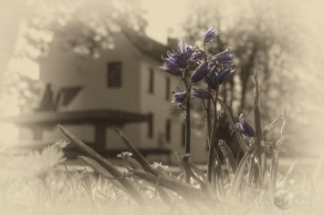 bluebells by the old schoohouse