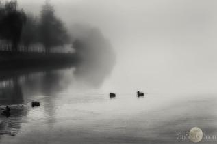 calming the foggy ducks in the estuary