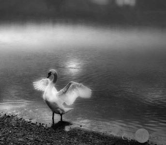 Monochrome Madness Swan