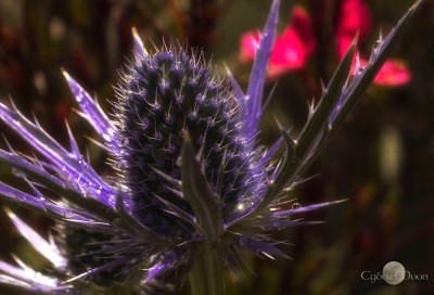 sea holly2