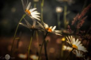 sunlight daisies