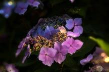 hydrangea at sunset