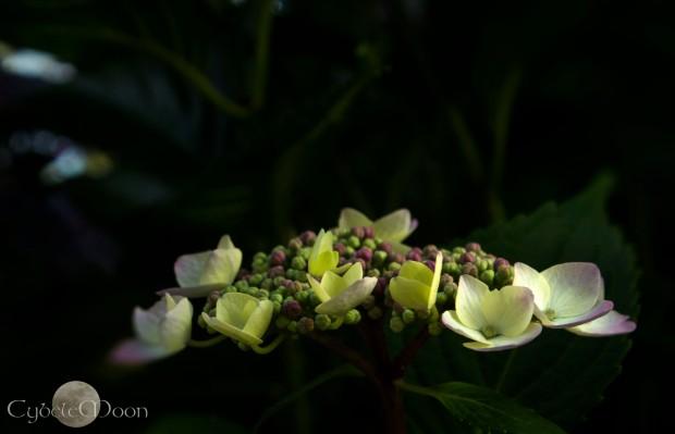 Hydrangea light