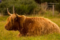 cattle of the highlands