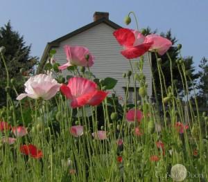 original poppies