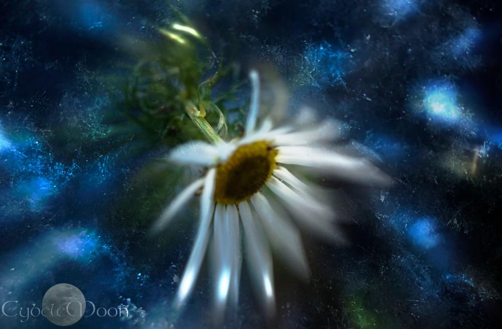 a cold daisy