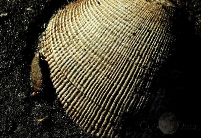 Mollusca bivalvia deceased