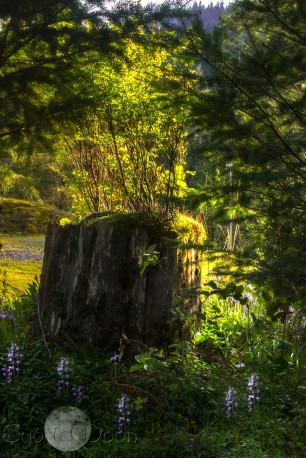 sunset light and bluebells