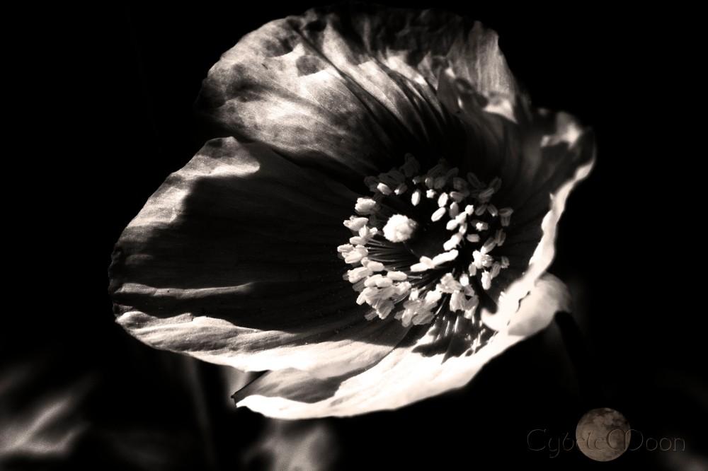 poppy light
