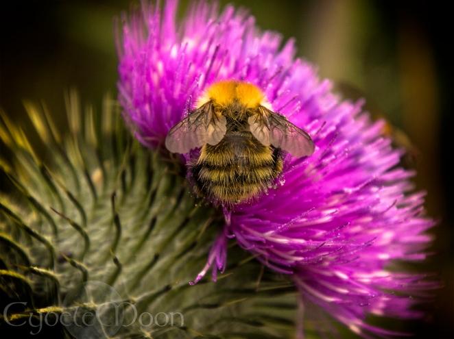 braveheart bee