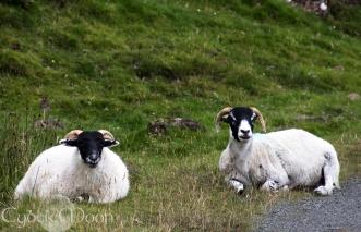 sheeps!!