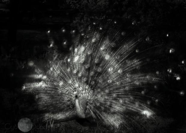 a monochrome peacock