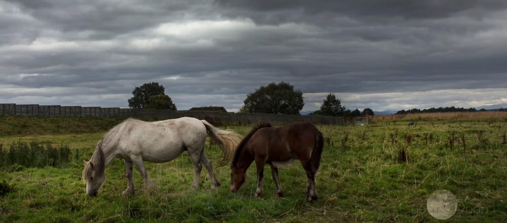 culloden horses
