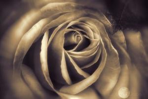 ssepia rose