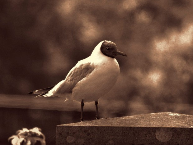 river gull sepia