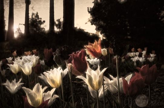 tulips best