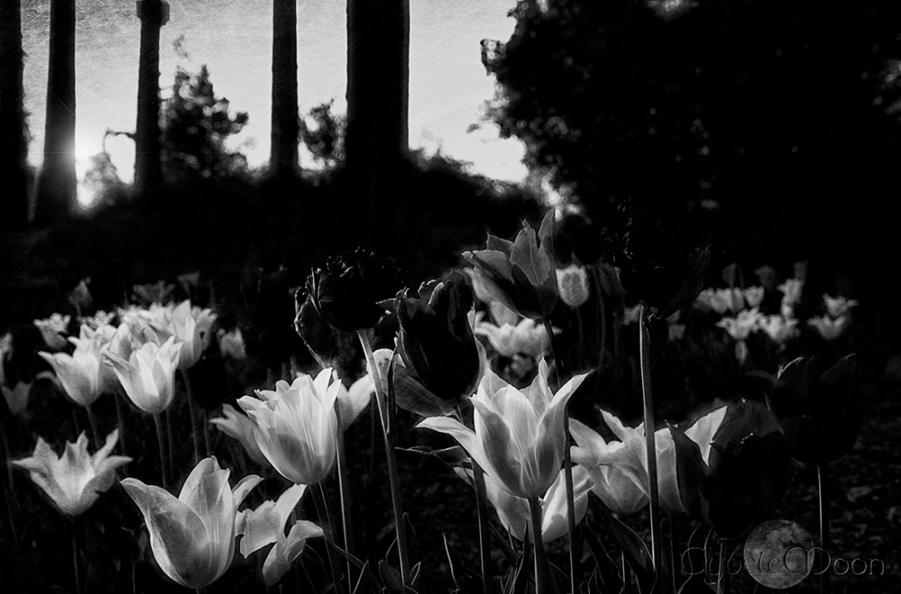tulips in monochrome