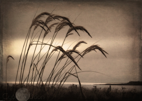 pampas on orkneys