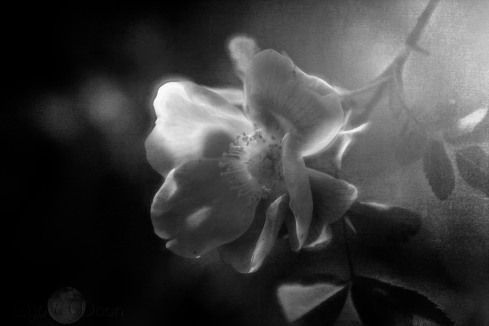 wild rose monochrome