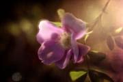 wild rose vignette