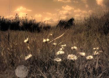 grassy daisies