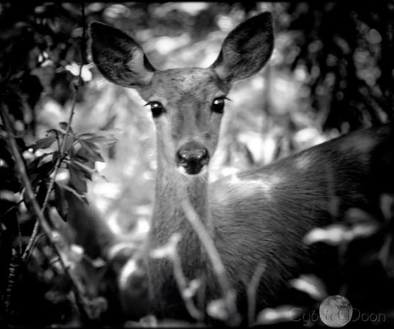 woodland doe