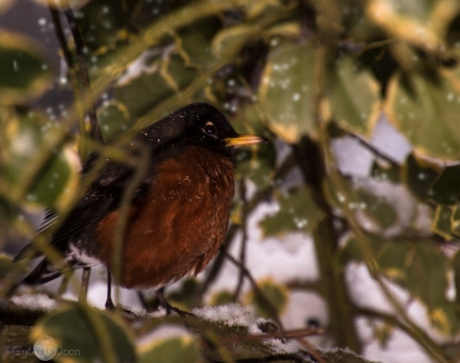 poor-robin