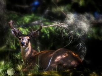 deer resting on rise