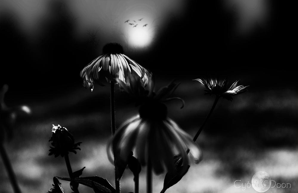 daisies mono