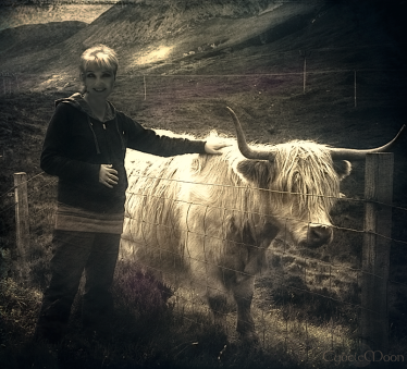 two Heiland Coos