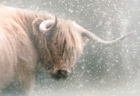 coo in snow